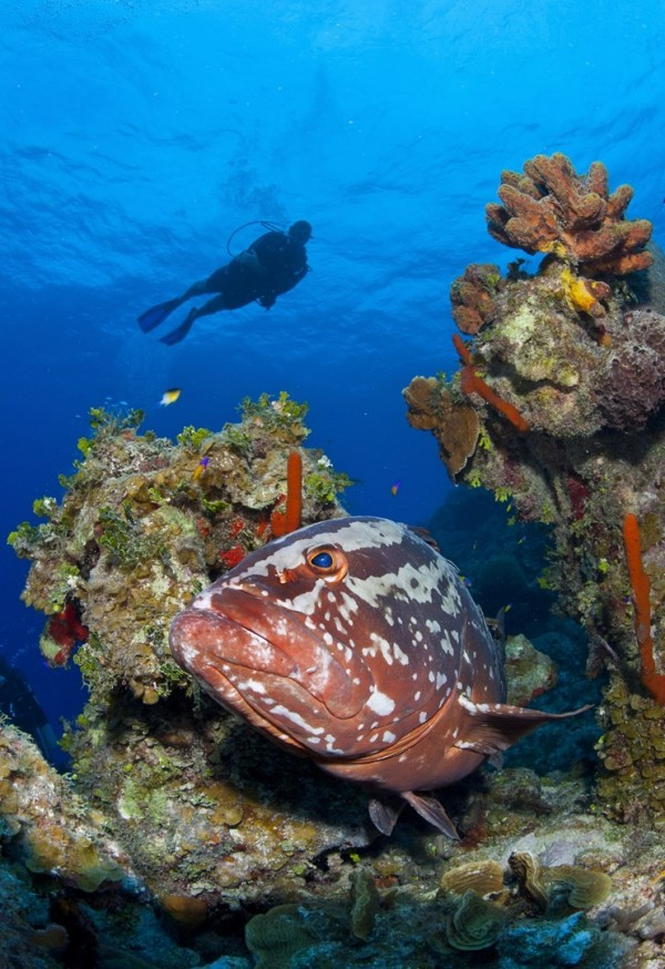 Grouper Moon Project Strives to Save the Endangered Nassau Grouper