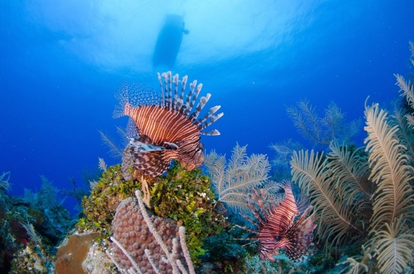 The Lionfish Kings of Grand Cayman's East End
