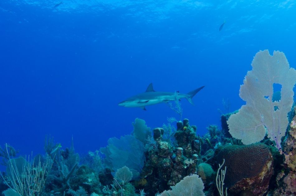 Cayman-Reef-Diving-383