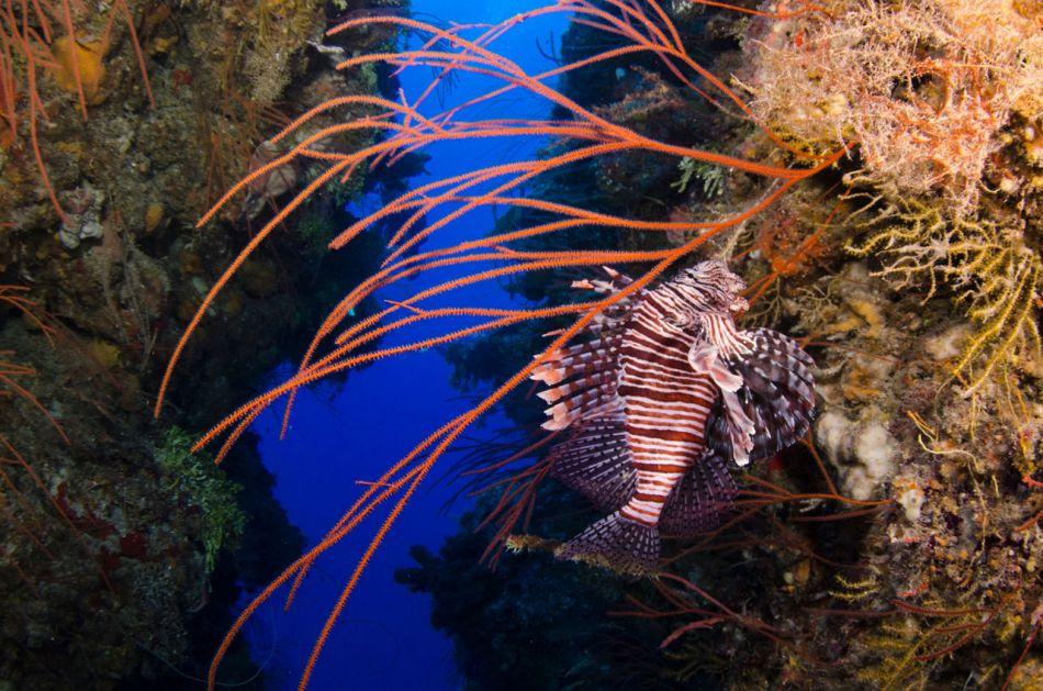 Lionfish-Culling-Cayman-706