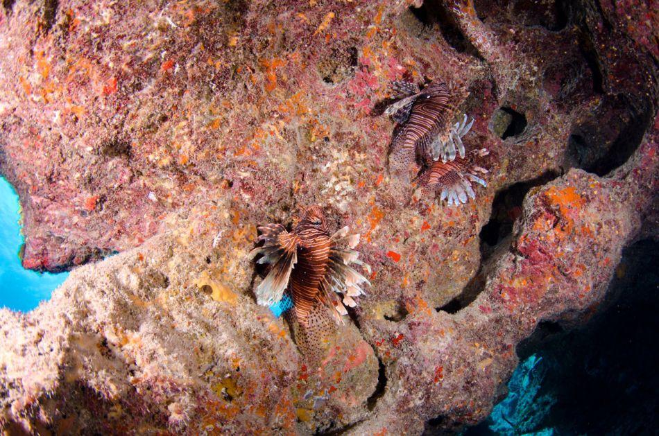 Lionfish-Culling-Cayman-721