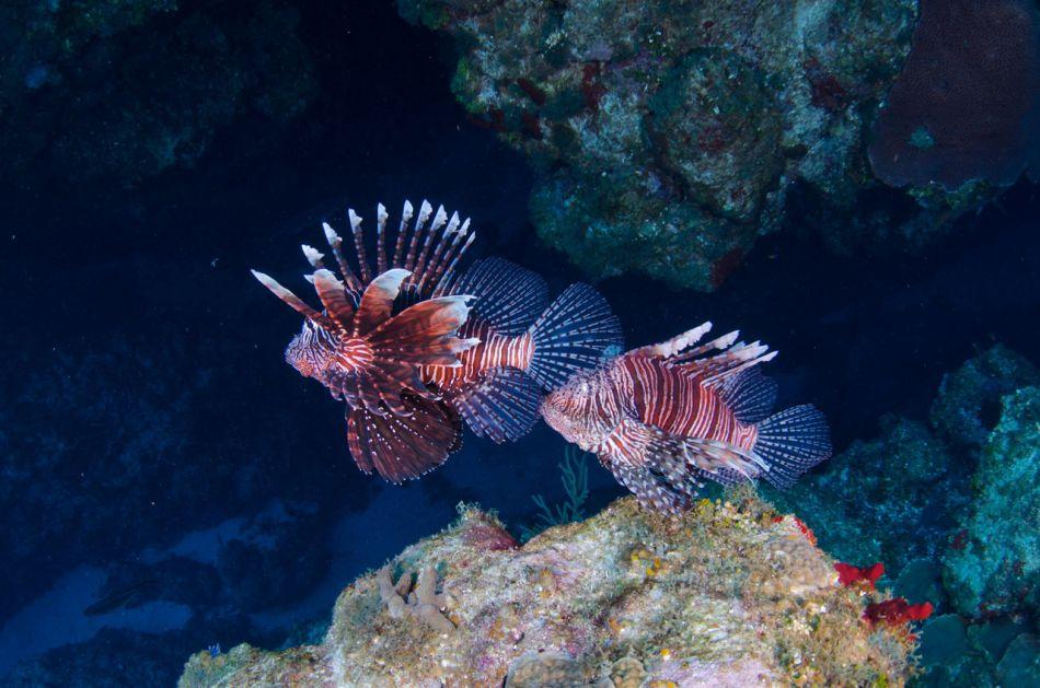 Lionfish-Culling-Cayman-723