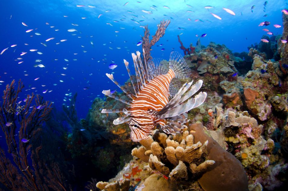 Lionfish Culling in Grand Cayman with Ocean Frontiers - Image 1