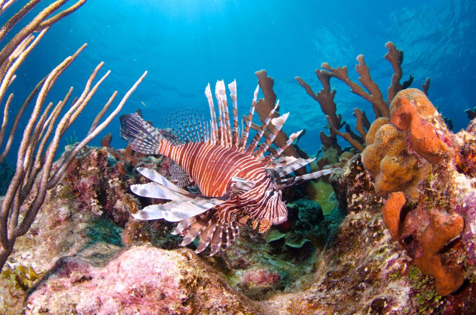 Lionfish Culling in Grand Cayman with Ocean Frontiers - Image 11