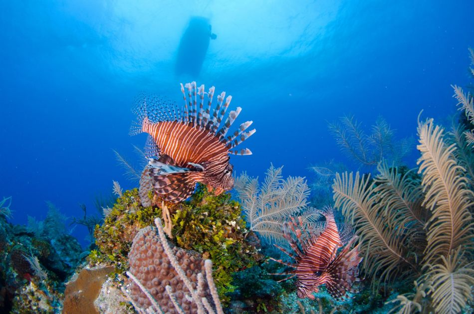 Lionfish Culling in Grand Cayman with Ocean Frontiers - Image 12