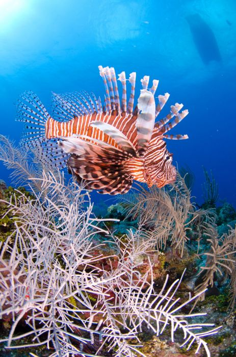 Lionfish Culling in Grand Cayman with Ocean Frontiers - Image 13