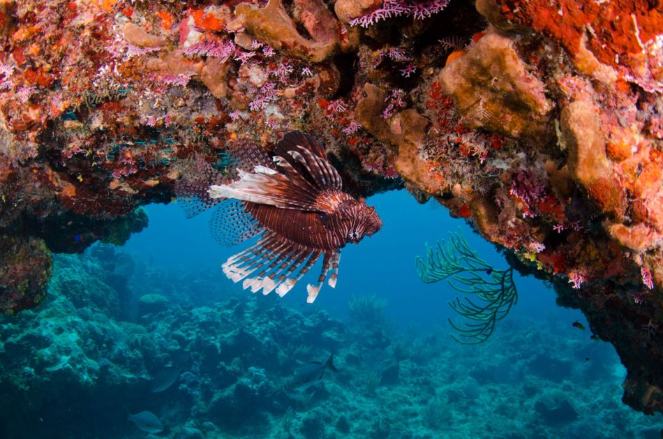 Lionfish Culling in Grand Cayman with Ocean Frontiers - Image 14