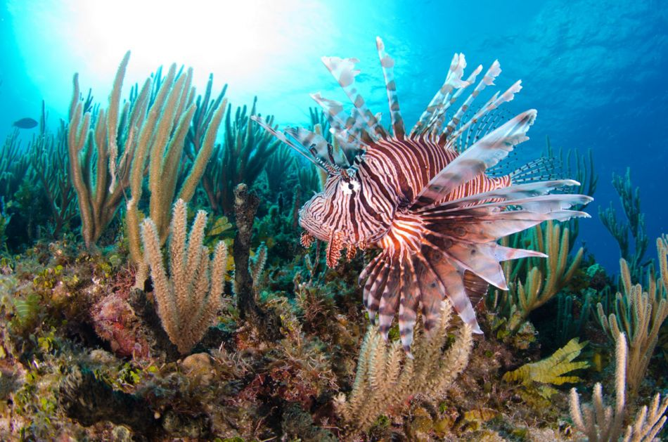 Lionfish Culling in Grand Cayman with Ocean Frontiers - Image 15