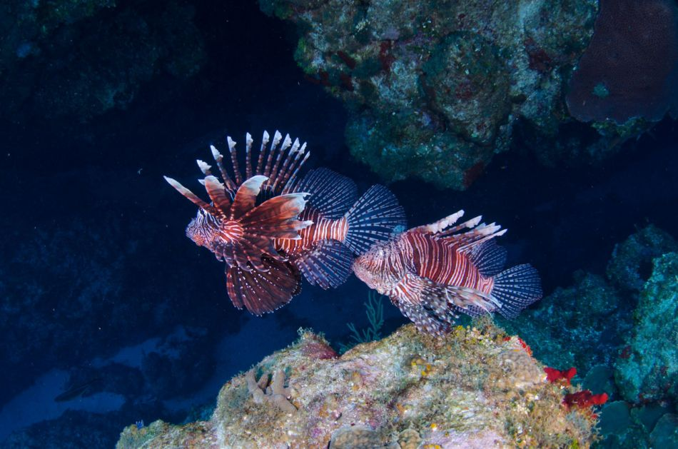 Lionfish Culling in Grand Cayman with Ocean Frontiers - Image 18