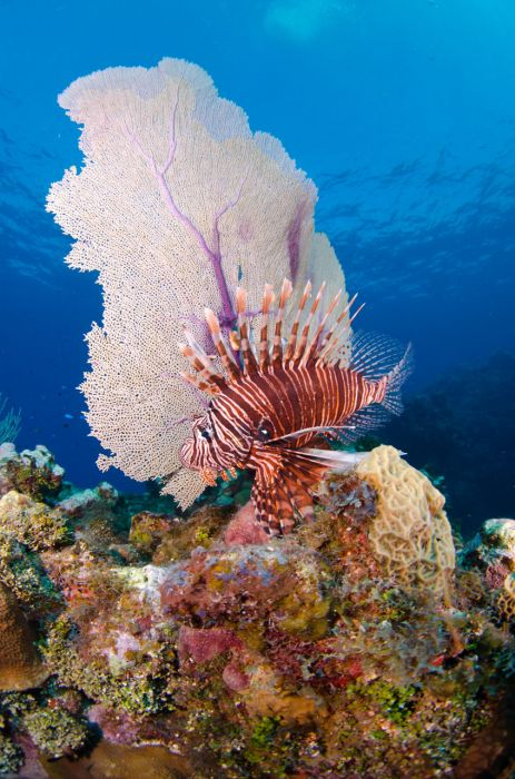 Lionfish Culling in Grand Cayman with Ocean Frontiers - Image 20