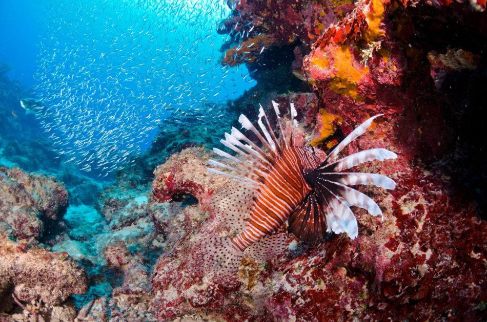 Lionfish Culling in Grand Cayman with Ocean Frontiers - Image 21