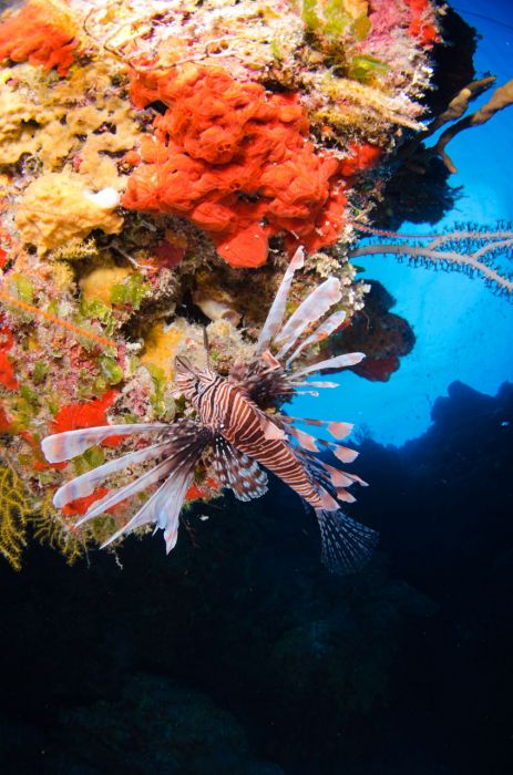 Lionfish Culling in Grand Cayman with Ocean Frontiers - Image 22