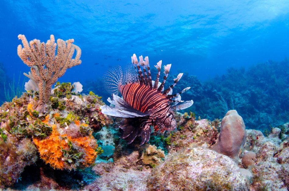 Lionfish Culling in Grand Cayman with Ocean Frontiers - Image 23