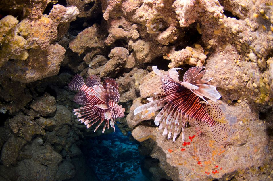 Lionfish Culling in Grand Cayman with Ocean Frontiers - Image 3