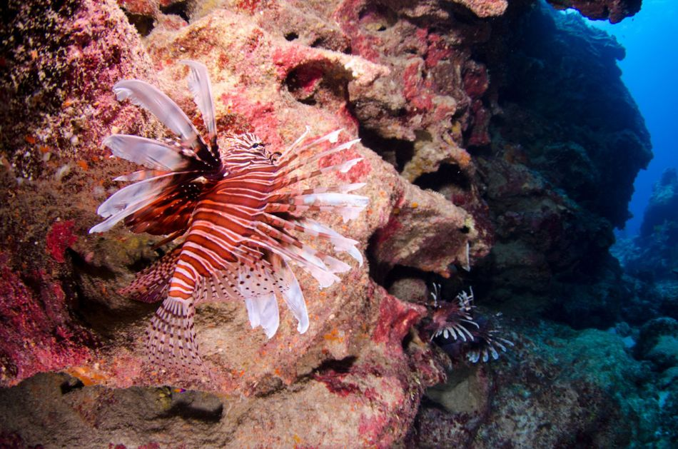 Lionfish Culling in Grand Cayman with Ocean Frontiers - Image 4