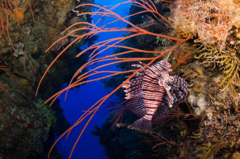 Lionfish Culling in Grand Cayman with Ocean Frontiers - Image 5