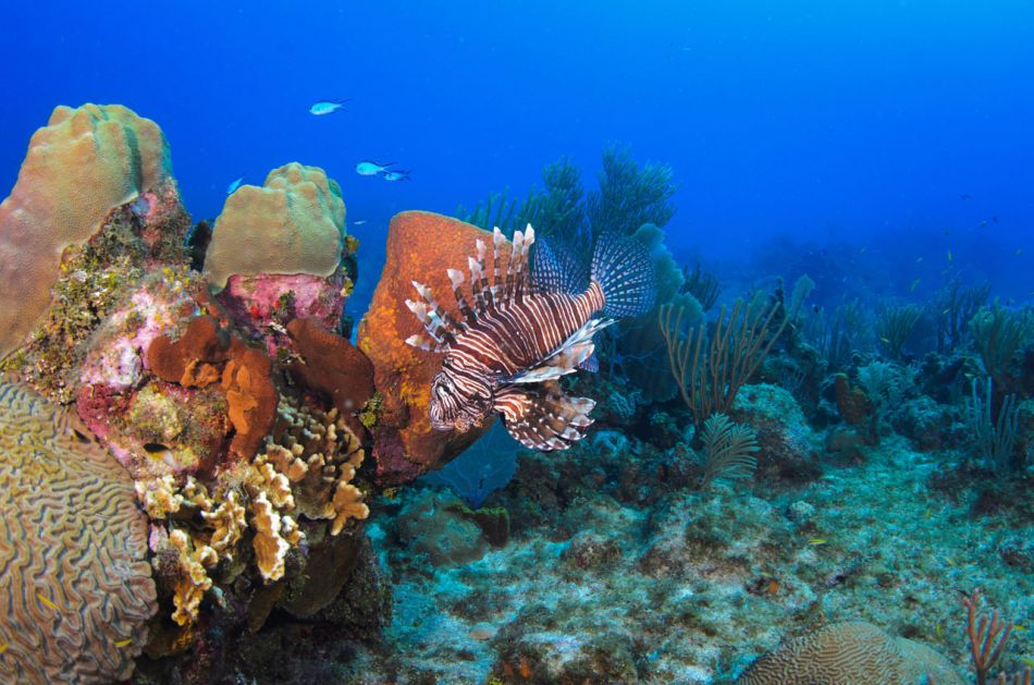 Lionfish Culling in Grand Cayman with Ocean Frontiers - Image 6