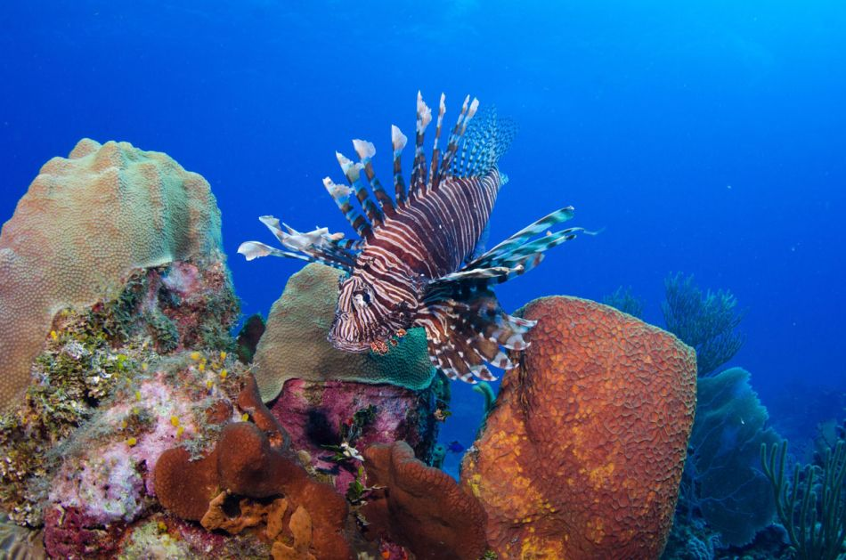Lionfish Culling in Grand Cayman with Ocean Frontiers - Image 7