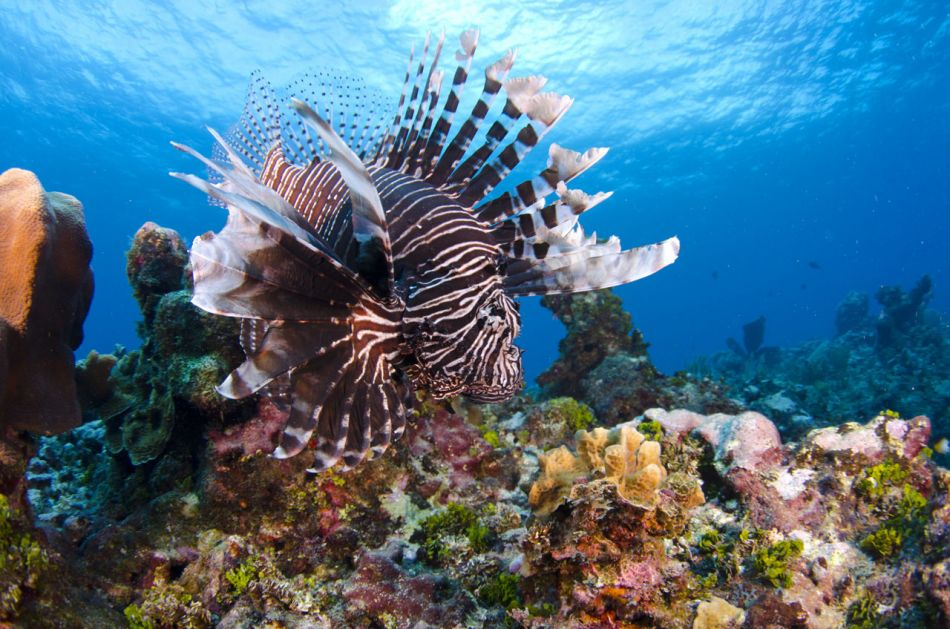Lionfish Culling in Grand Cayman with Ocean Frontiers - Image 8