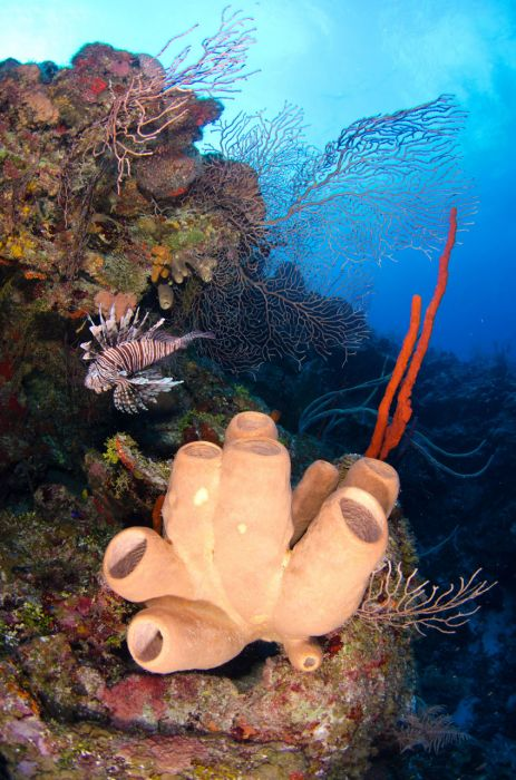 Lionfish Culling in Grand Cayman with Ocean Frontiers - Image 9