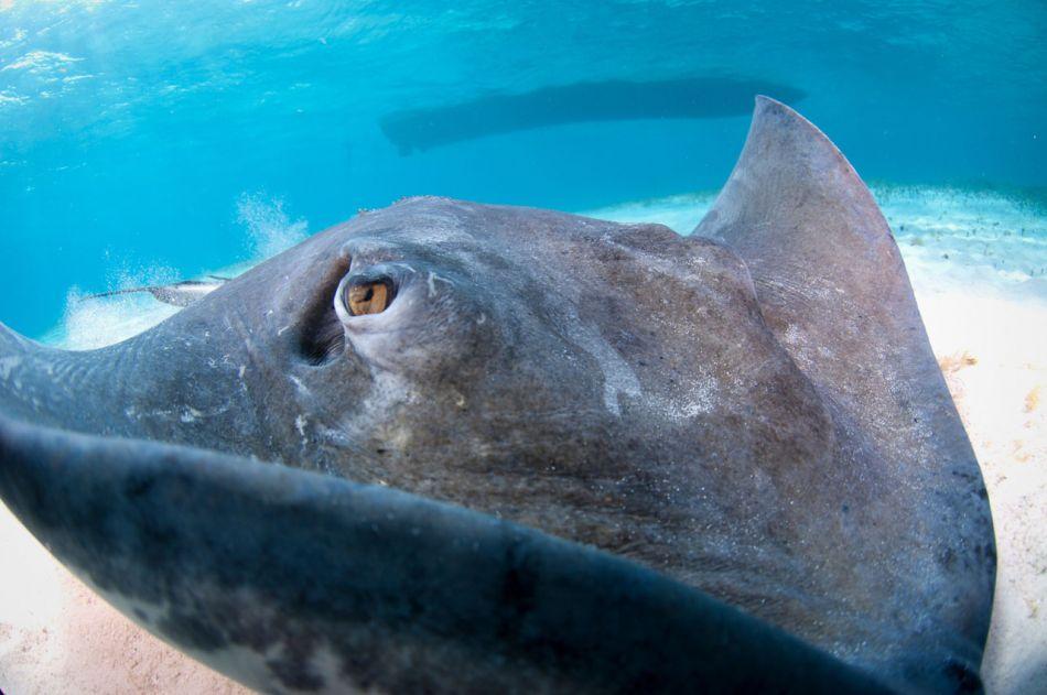 Stingray Snorkel Trips to the Sandbar in Grand Cayman - Image 5